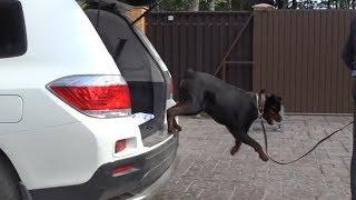 ДТ-18. Приучение собаки к машине за 19 минут.