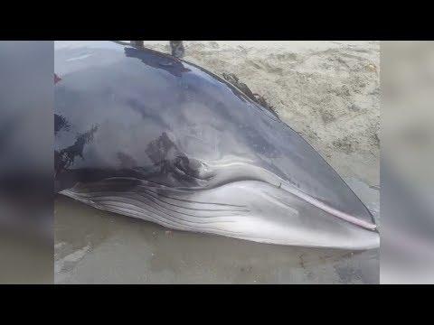 Canada, Il Cucciolo Di Balena Arenato Riprende Il Largo Grazie Ai Pescatori