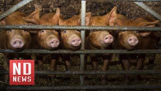 Чума свиней в уральских сёлах. Фермеры подозревают заговор