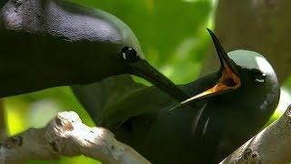 Noddy Birds Perform Courtship Rituals | BBC Earth