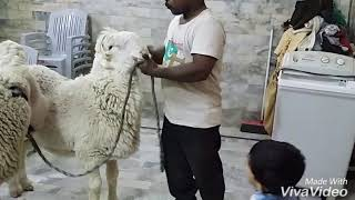 Sheep in pakistan kajla & munDra.8.2.2018