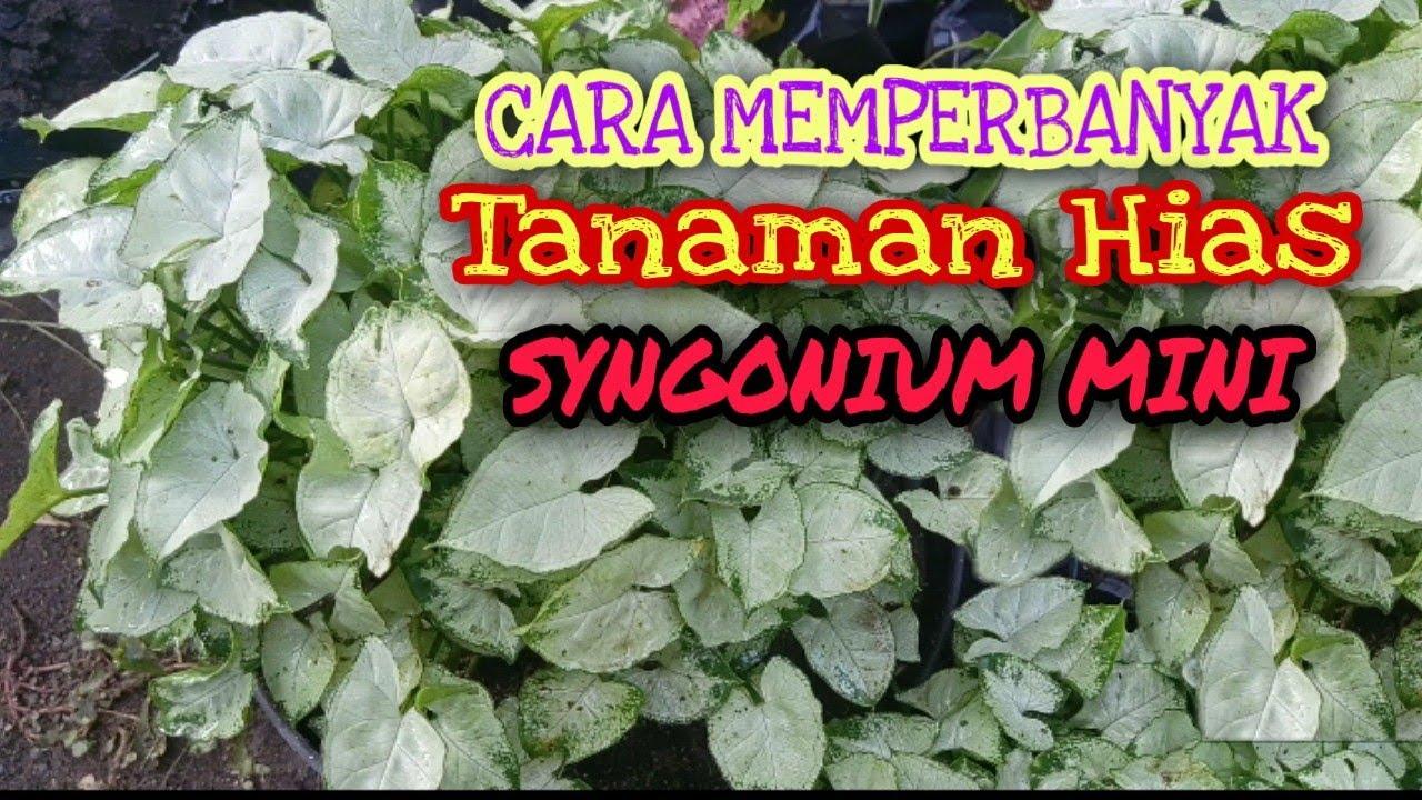 Cara Memperbanyak Tanaman Hias Syngonium Mini Youtube