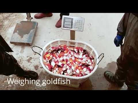 Two Minutes To See How The Goldfish Farm Sells Goldfish