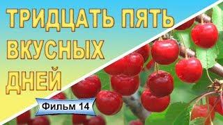 Крупноплодные сорта черешни Черешня Василиса Сытная Аннушка Фильм 14