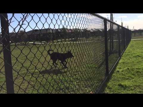 Nox - The Australian Kelpie - fence training in slow motion