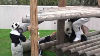 屋外運動場から帰りたくないパンダの反抗