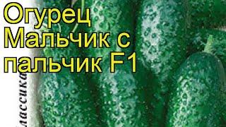 Огурец Мальчик с пальчик F1. Краткий обзор, описание характеристик cucumis sativus