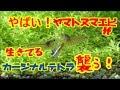 【アクアリウム】100匹のテトラ導入!おいおい!まさかカージナルテトラがヤマトヌマ…