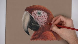 Special Scarlet Macaw Portrait Drawing!