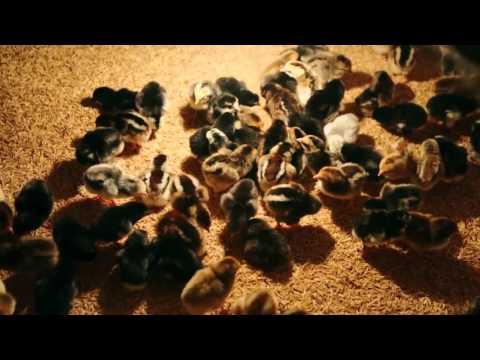 បច្ចេកទេសផលិតកូនមាន់ស្រុក Native Chicken Hatchery in Khmer
