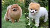 Самые маленькие породы собак. Топ-27 - YouTube