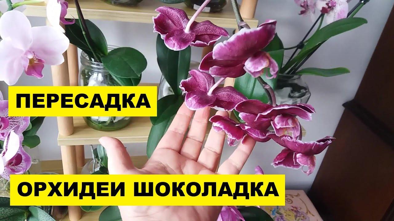 ПЕРЕСАДКА ОРХИДЕИ ШОКОЛАДКА