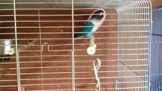 видео Голуболицая или масковая олуша (лат. Sula dactylatra)