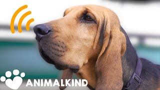 Scarf the sniffer dog protects animals from poachers | Animalkind