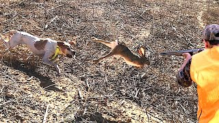 Hunting Partridge and Hare with the English Pointer Dog