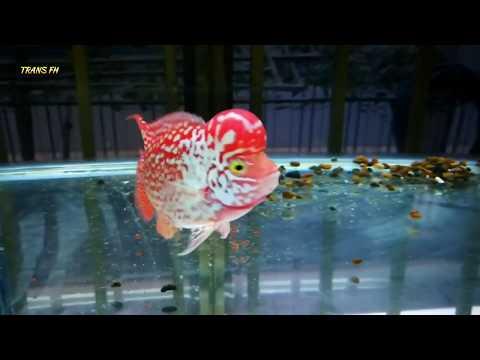 Inilah Ikan Louhan Yang Paling Banyak Di Incar