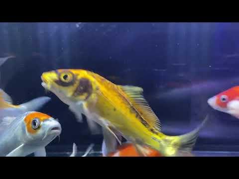 錦鯉の水槽(No.85) Nishikigoi aquarium (No.85)