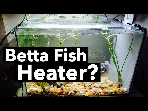 Heater For Betta Fish? Water Temperature