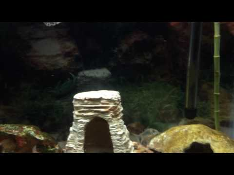 Dither Fish And Cichlids
