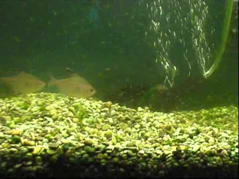 Cleaning algae from 30gal fish tank youtube for Cleaning algae from fish tank