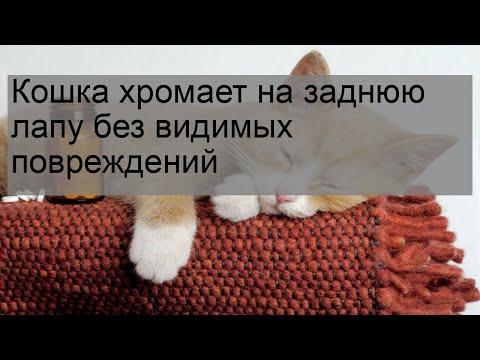 Кошка хромает на заднюю лапу без видимых повреждений