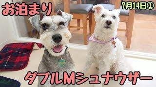 スーちゃん&紋次郎くん『よろしくお願いします。』 チワワ ミミちゃん ...