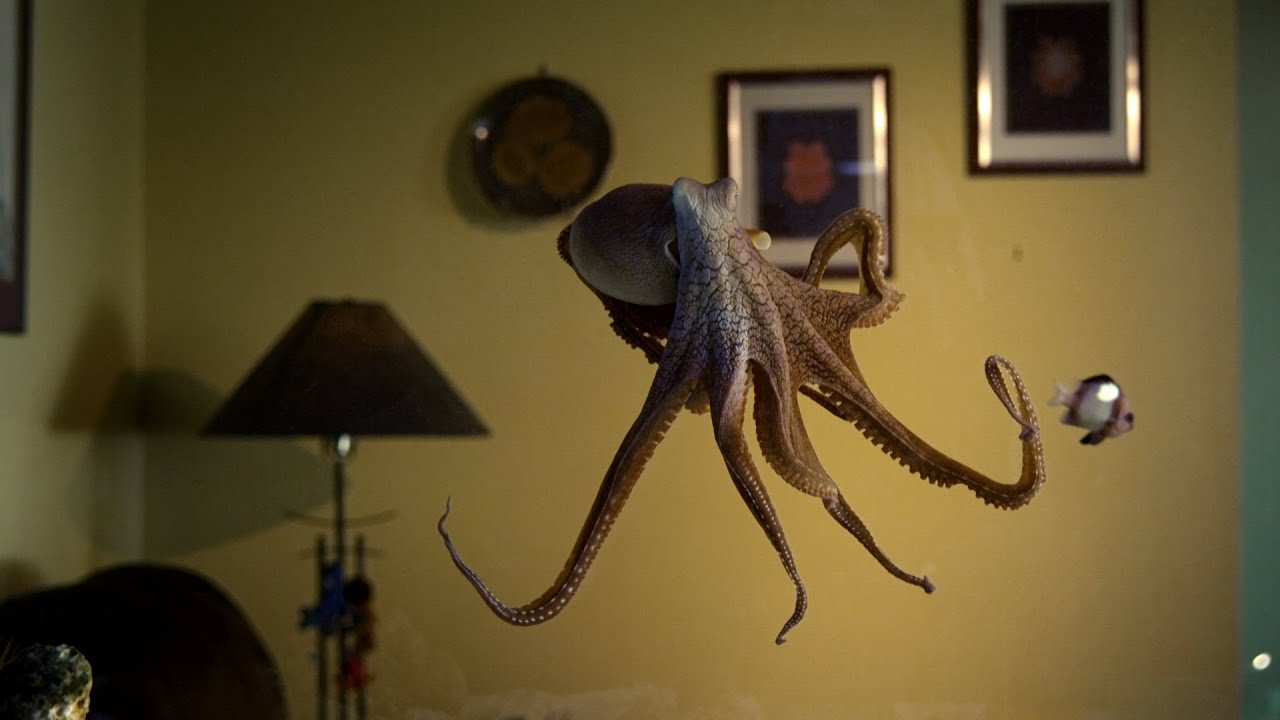 Download Octopus In The Living Room | Octopus In My House | BBC Earth
