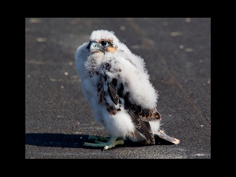 Peregrine falcon chick unexpectedly takes maiden flight