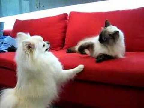 Thumbnail for Cat Video Pomeranian Dog VS Himalayan Cat
