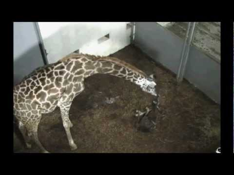 Thumbnail: Giraffe giving birth to her calf. 'Autumn' Gives birth at Greenville Zoo, South Carolina.