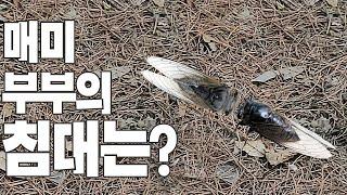 [투어튜브·Tour Tube] 매미 부부의 침대는? #…