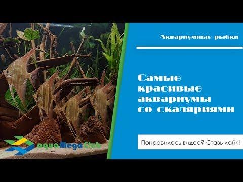 Самые красивые аквариумы со скаляриями (3 вида: альтумы, Леопольда и обыкновенные)