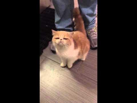 Exotic shorthair kitten begs for water