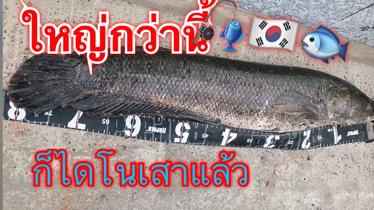 ใหญ่กว่านี้ไม่มีแล้ว ตกปลาในเกาหลี