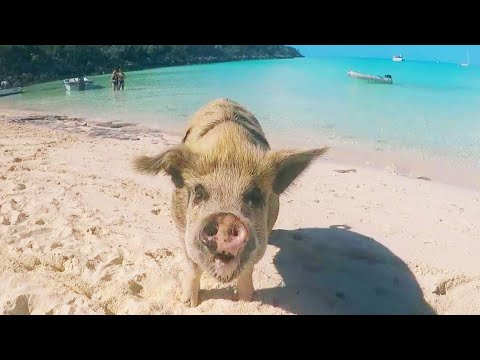 Jimmy Elliott - Model Gets Bitten by Pig in Bahamas