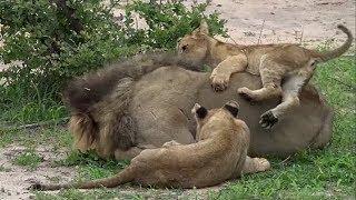 WE SafariLive-  So happy the 8 Nkuhuma lion cubs are back!