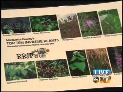 Invasive Knapweed threatens plants in the U.P.
