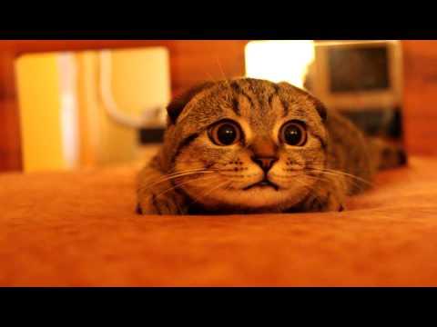Scottish fold kitten on the prowl Suzie, the bomb cat