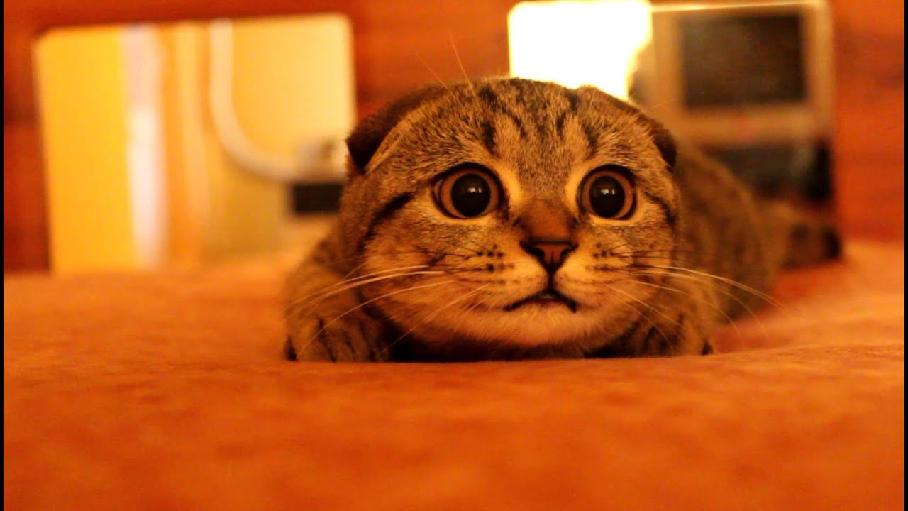 Trouble Maker_Scottish fold kitten on the prowl (Suzie, the bomb cat) - YouTube