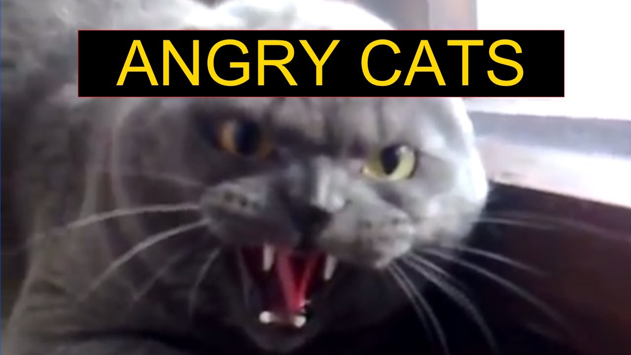 Angry Animals Google Search: Funny Cats Compilation