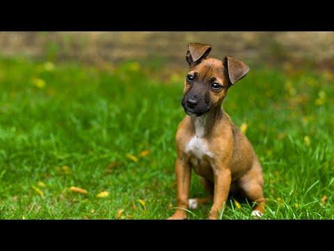 Ian Dunbar: puppy training tips (Naturally Happy Dogs)