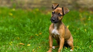 Ian Dunbar: puppy training tips (Naturally Happy Dogs)