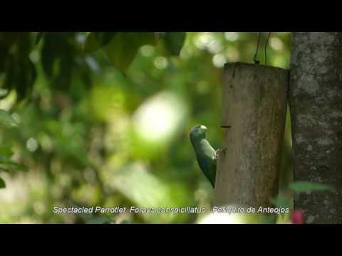 Очковый попугай. Forpus conspicillatus - Periquito de Anteojos