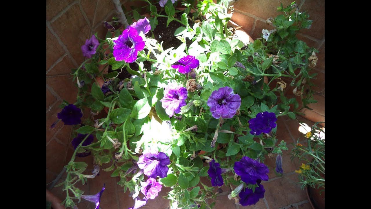 C mo recoger las semillas de nuestras petunias youtube - Semillas de hortensias ...