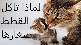 لماذا تاكل القطط صغارها ؟