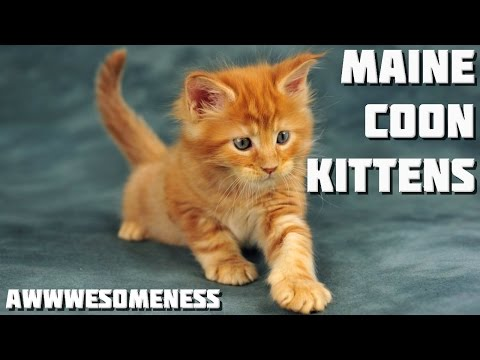 Maine Coon Kittens Compilation - Over 20 Minutes of Awwwesomeness