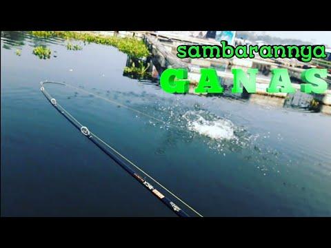 Fishing Video   The Best Topwater Fishing Hampala Macrolepidota