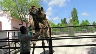 Нереальная любовь жирафа с человеком