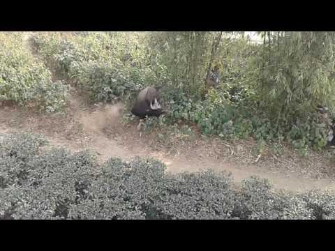 Bison attacked on ranger officer.. Lataguri