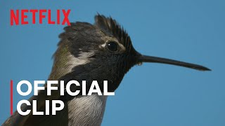 Hummingbirds from Life in Color with David Attenborough | Netflix